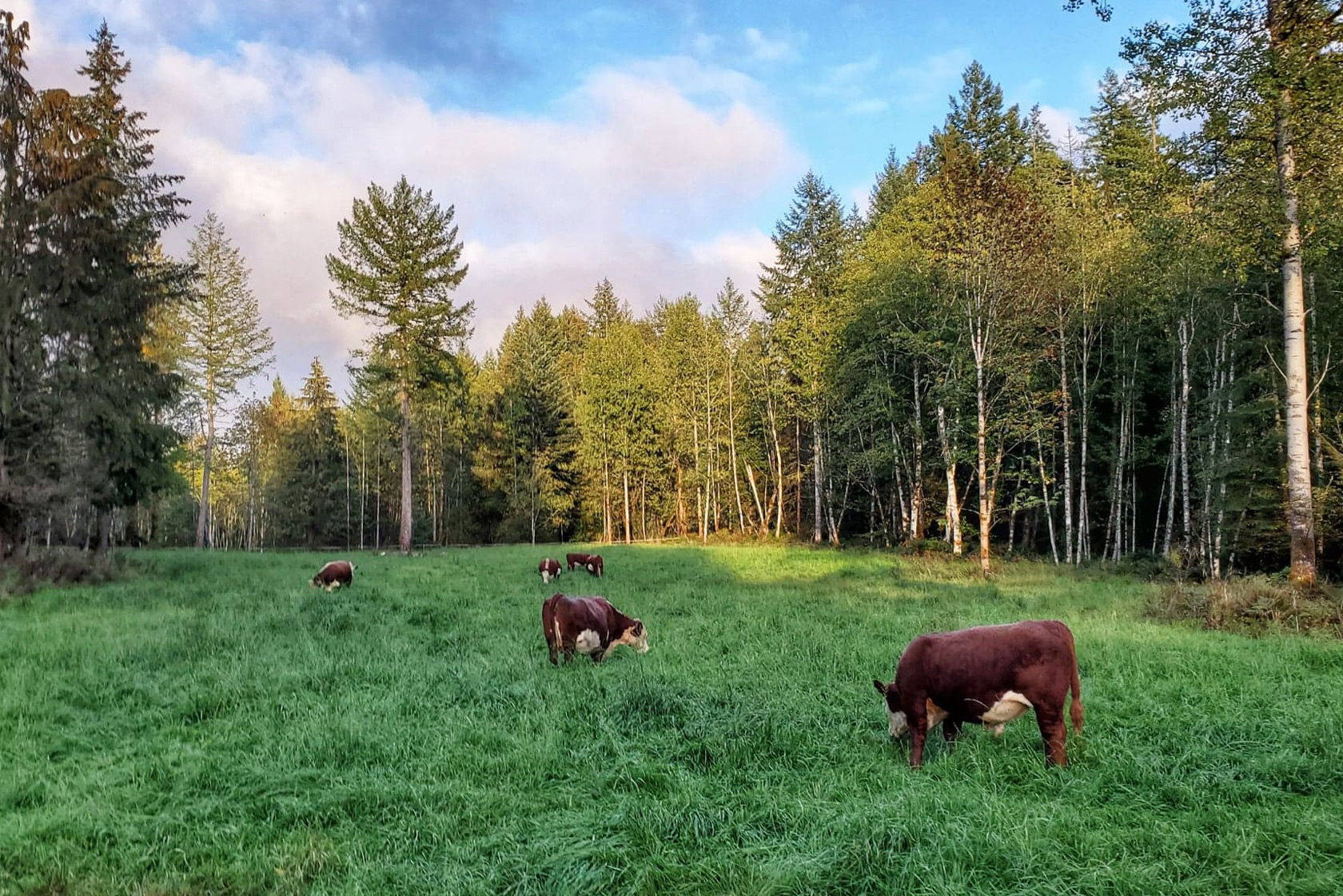 Cows in grassy field comox valley